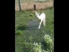 baby alpaca with wet feet.MOV