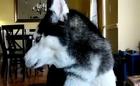 Σκύλος λέει 12 λέξεις - Απίστευτο βίντεο - SKILOS POU MILAEI